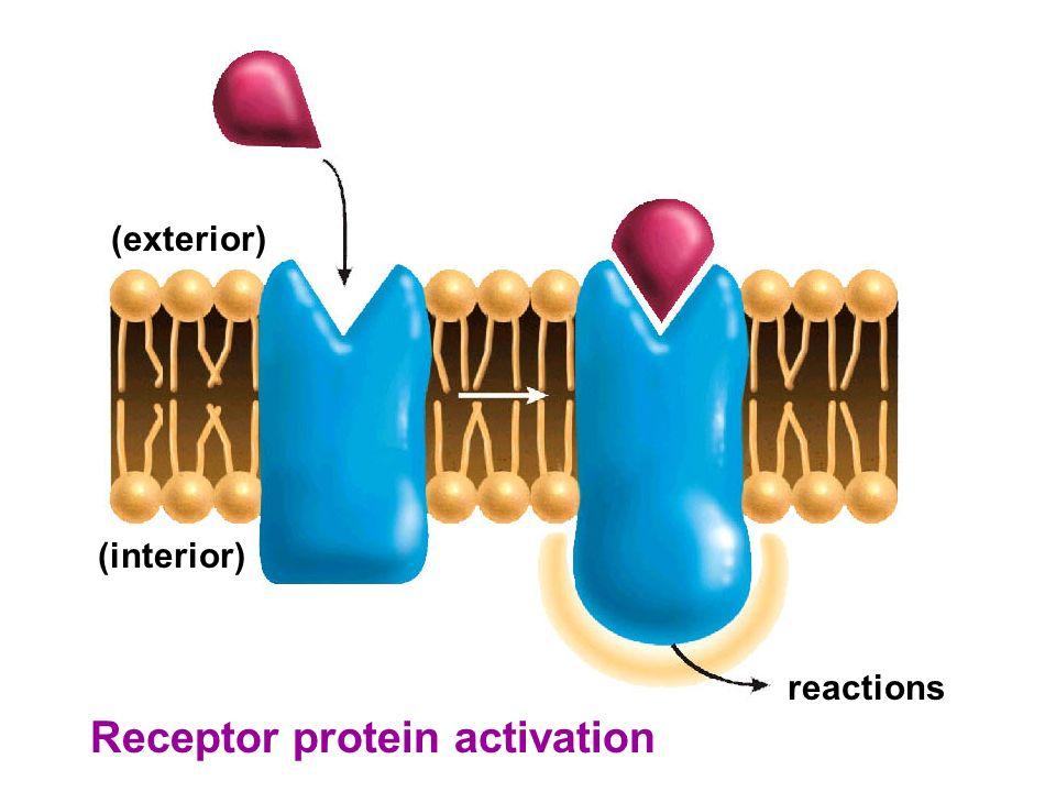 Receptor protein activation reactions (interior) (exterior)