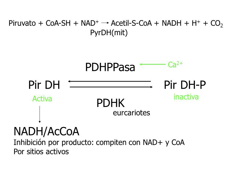 Pir DH Pir DH-P PDHK PDHPPasa Activa inactiva NADH/AcCoA Inhibición por producto: compiten con NAD+ y CoA Por sitios activos Ca 2+ eurcariotes Piruvat