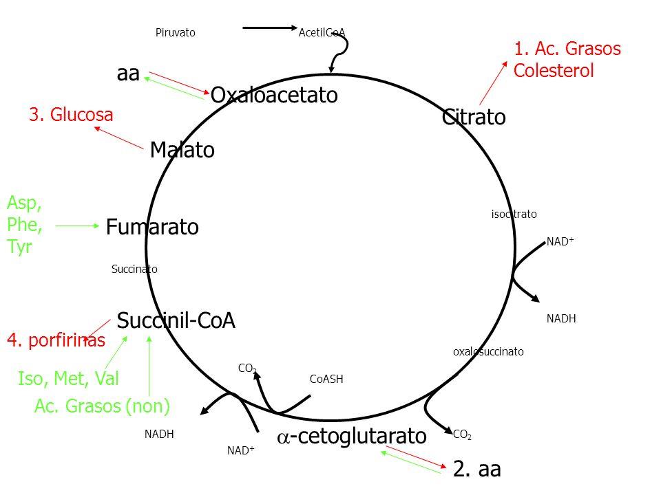Citrato isocitrato -cetoglutarato Succinil-CoA Succinato Malato Fumarato Oxaloacetato PiruvatoAcetilCoA NAD + NADH oxalosuccinato CO 2 CoASH NAD + NAD