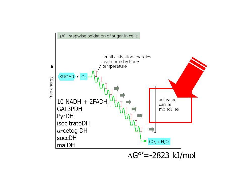 G°=-2823 kJ/mol 10 NADH + 2FADH 2 GAL3PDH PyrDH isocitratoDH -cetog DH succDH malDH