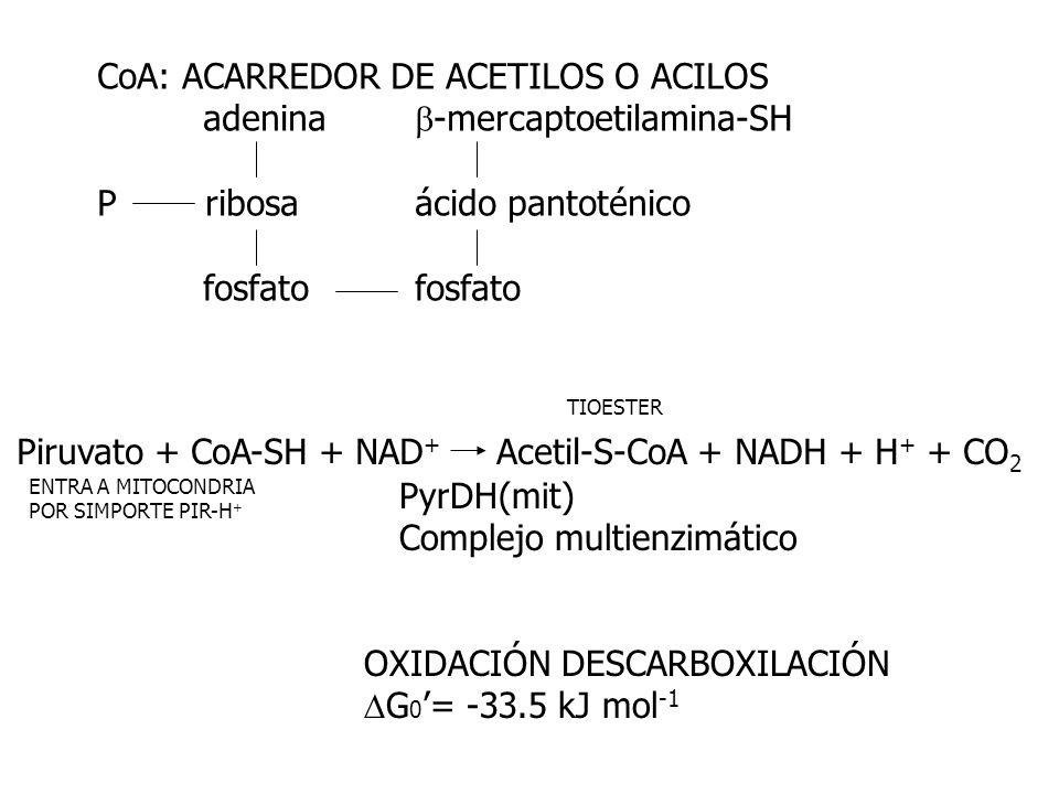 CoA: ACARREDOR DE ACETILOS O ACILOS adenina -mercaptoetilamina-SH P ribosaácido pantoténicofosfato Piruvato + CoA-SH + NAD + Acetil-S-CoA + NADH + H +