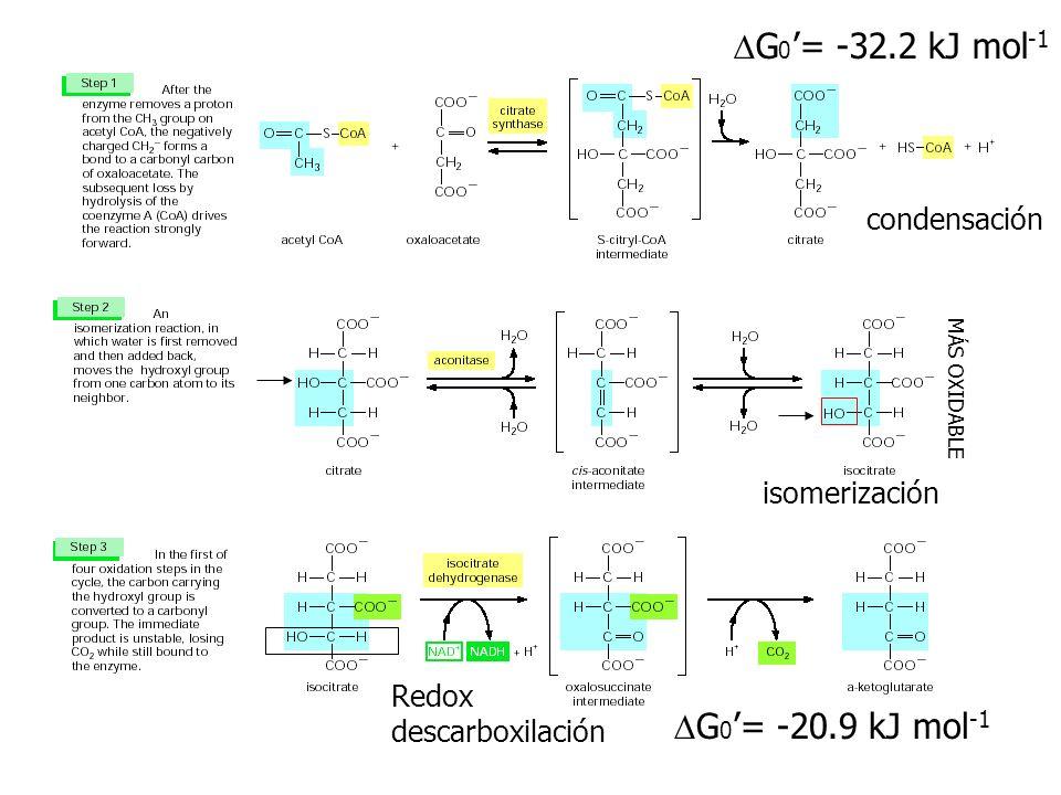 G 0 = -32.2 kJ mol -1 G 0 = -20.9 kJ mol -1 MÁS OXIDABLE condensación isomerización Redox descarboxilación