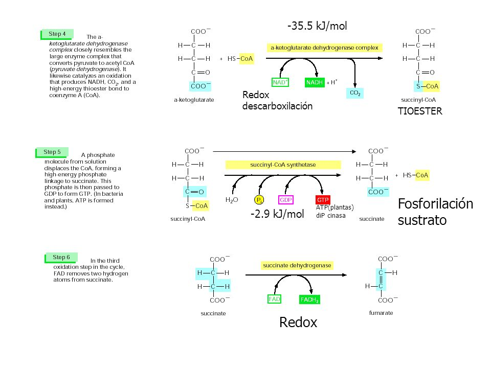 -35.5 kJ/mol -2.9 kJ/mol ATP(plantas) diP cinasa TIOESTER Redox descarboxilación Fosforilación sustrato Redox