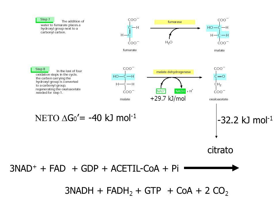 +29.7 kJ/mol citrato -32.2 kJ mol -1 G 0 = -40 kJ mol -1 3NAD + + FAD + GDP + ACETIL-CoA + Pi 3NADH + FADH 2 + GTP + CoA + 2 CO 2