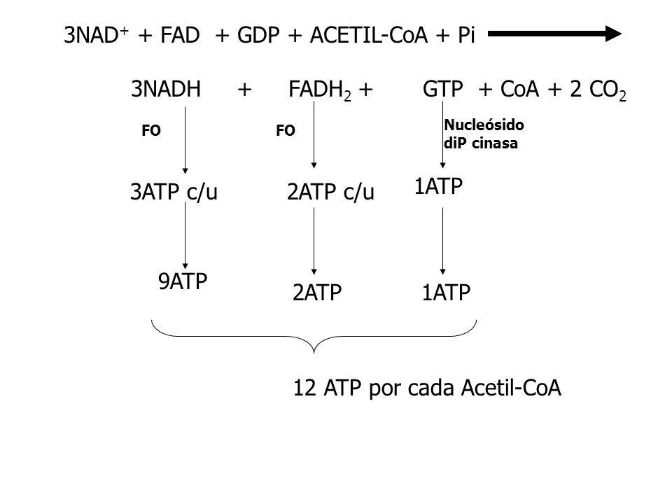 3NAD + + FAD + GDP + ACETIL-CoA + Pi 3NADH + FADH 2 + GTP + CoA + 2 CO 2 3ATP c/u2ATP c/u 1ATP Nucleósido diP cinasa 9ATP 2ATP1ATP 12 ATP por cada Ace