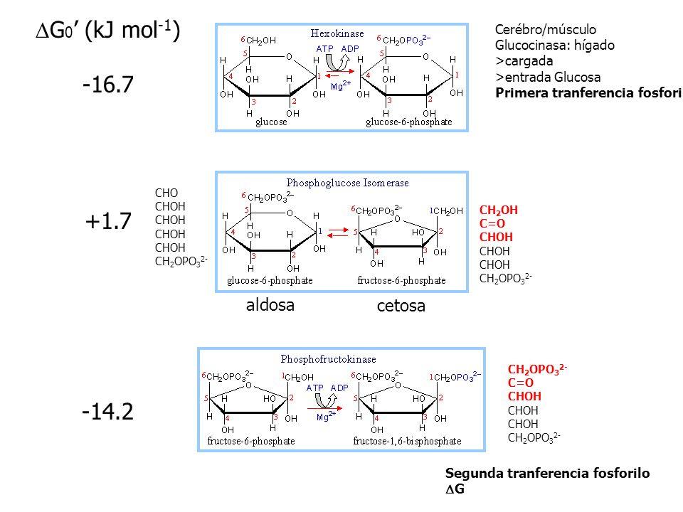 Glucosa + 2NAD + + 2 ADP + 2 Pi 2NADH +2 piruvato + 2 ATP+ 2 H 2 O+ 4H +