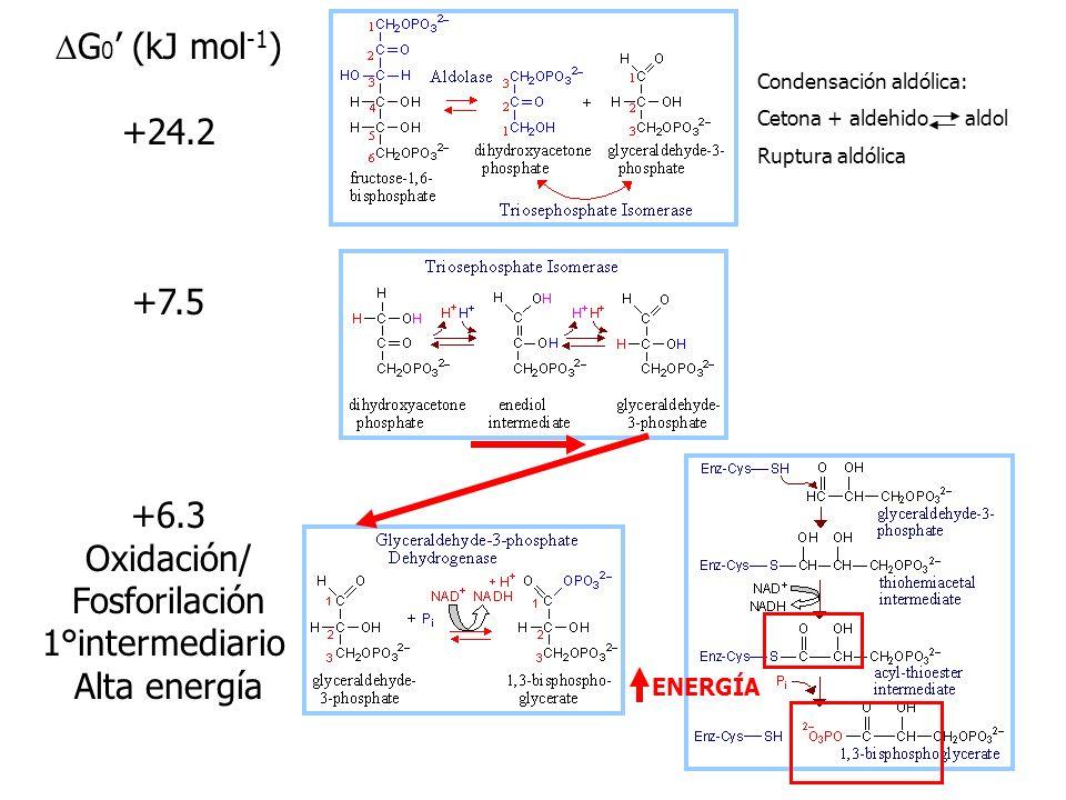 G 0 (kJ mol -1 ) -16.7 +1.7 -14.2 Cerébro/músculo Glucocinasa: hígado >cargada >entrada Glucosa Primera tranferencia fosforilo aldosa cetosa CHO CHOH