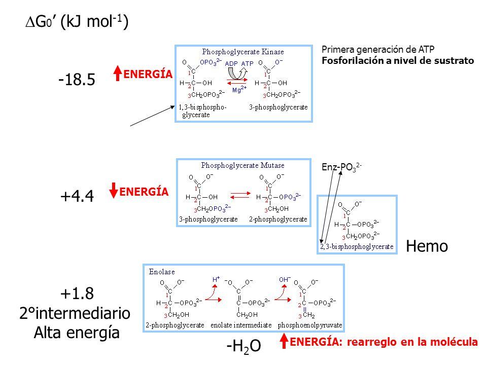 G 0 (kJ mol -1 ) +24.2 +7.5 +6.3 Oxidación/ Fosforilación 1°intermediario Alta energía ENERGÍA Condensación aldólica: Cetona + aldehido aldol Ruptura