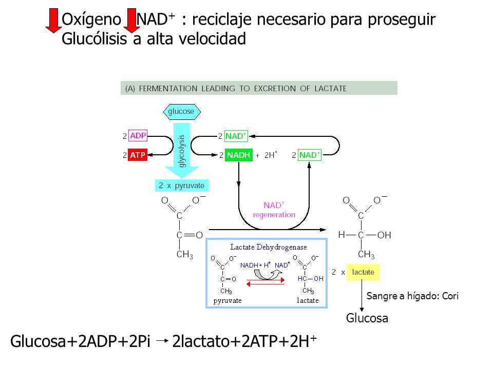 Glucógeno Glucosa-1-P +Fru1-6bP Feedforward control -2ATP +2ATP A mitocondria