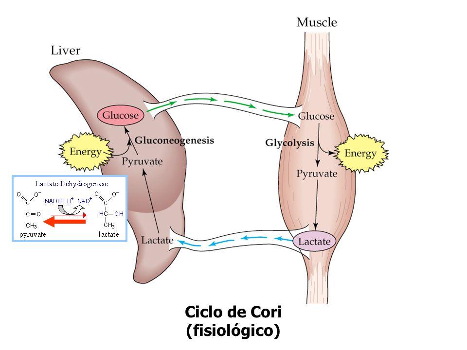 Glucosa Sangre a hígado: Cori Oxígeno NAD + : reciclaje necesario para proseguir Glucólisis a alta velocidad Glucosa+2ADP+2Pi 2lactato+2ATP+2H +