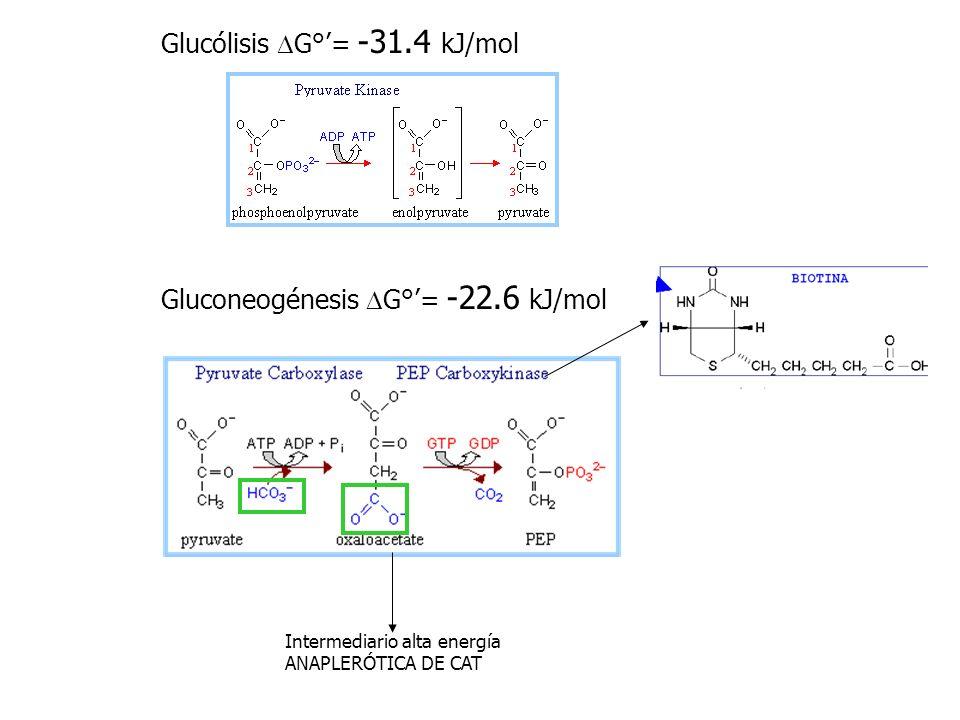 hexocinasa PFK Piruvato cinasa Mitocondria 3C 4C 3C