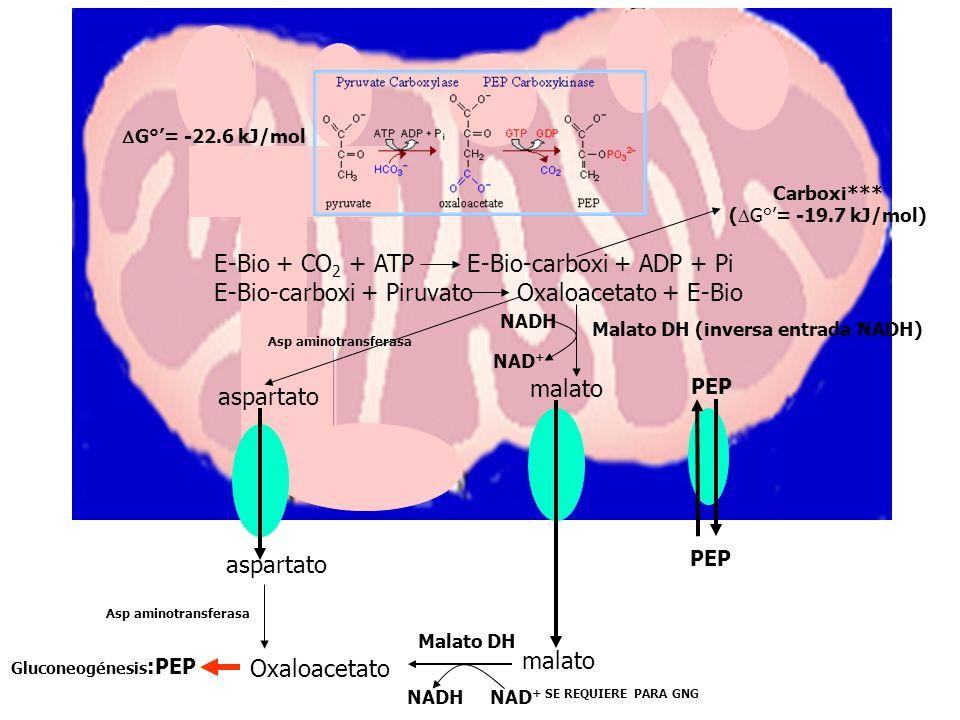 Glucólisis G°= -31.4 kJ/mol Gluconeogénesis G°= -22.6 kJ/mol Intermediario alta energía ANAPLERÓTICA DE CAT