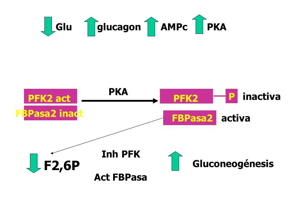 F2,6PF6P PFK2 FBPasa2 -citrato -F6P +AMP,+F6P, Pi +glicerol3P +Glucólisis -Gluconeogénesis