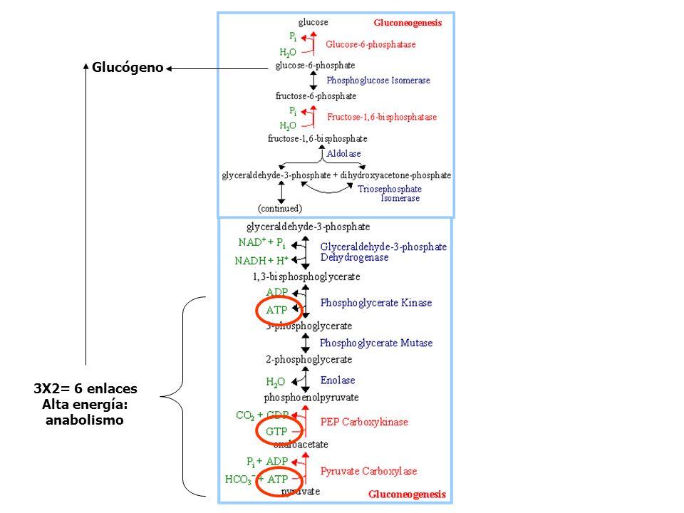 F2,6P PFK2 act FBPasa2 inact PKA Glu glucagon AMPc PKA P PFK2 FBPasa2 inactiva activa Inh PFK Act FBPasa Gluconeogénesis