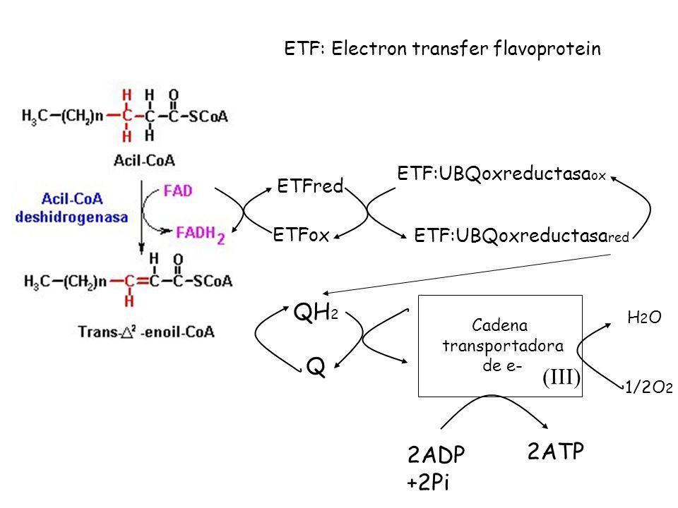 ETFred ETFox ETF:UBQoxreductasa ox ETF:UBQoxreductasa red QH 2 Q Cadena transportadora de e- H2OH2O 1/2O 2 2ADP +2Pi 2ATP ETF: Electron transfer flavoprotein (III)