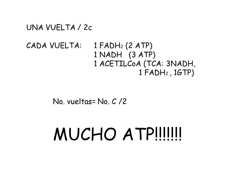 UNA VUELTA / 2c CADA VUELTA: 1 FADH 2 (2 ATP) 1 NADH (3 ATP) 1 ACETILCoA (TCA: 3NADH, 1 FADH 2, 1GTP) No.