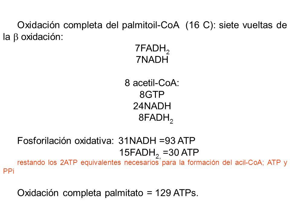 Oxidación completa del palmitoil-CoA (16 C): siete vueltas de la oxidación: 7FADH 2 7NADH 8 acetil-CoA: 8GTP 24NADH 8FADH 2 Fosforilación oxidativa: 31NADH =93 ATP 15FADH 2, =30 ATP restando los 2ATP equivalentes necesarios para la formación del acil-CoA; ATP y PPi Oxidación completa palmitato = 129 ATPs.