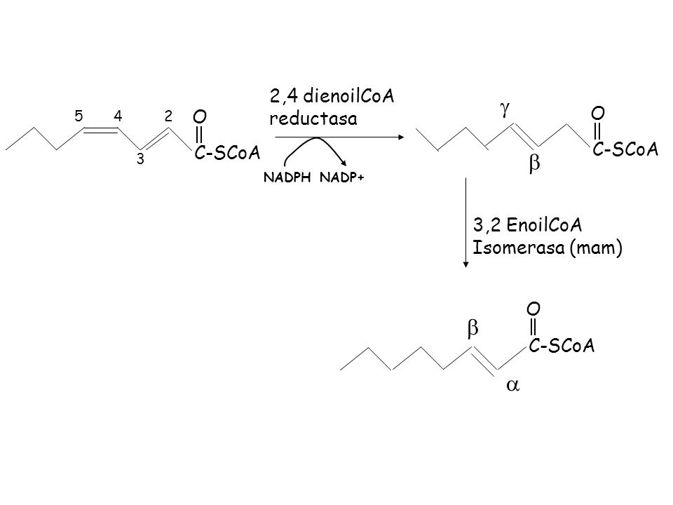 C-SCoA O 2 3 45 2,4 dienoilCoA reductasa NADPHNADP+ C-SCoA O 3,2 EnoilCoA Isomerasa (mam) C-SCoA O