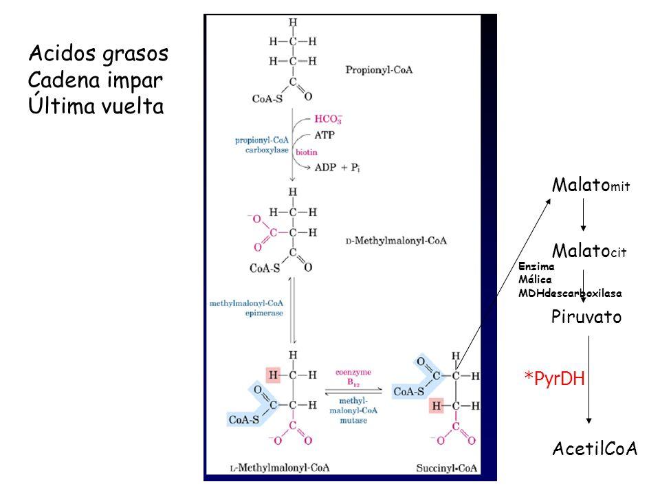 Acidos grasos Cadena impar Última vuelta Malato mit Malato cit Piruvato AcetilCoA Enzima Málica MDHdescarboxilasa *PyrDH