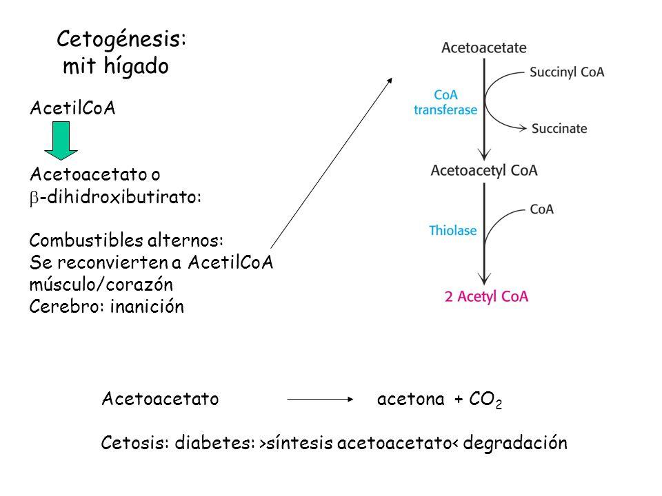 AcetilCoA Acetoacetato o -dihidroxibutirato: Combustibles alternos: Se reconvierten a AcetilCoA músculo/corazón Cerebro: inanición Cetogénesis: mit hígado Acetoacetato acetona + CO 2 Cetosis: diabetes: >síntesis acetoacetato< degradación
