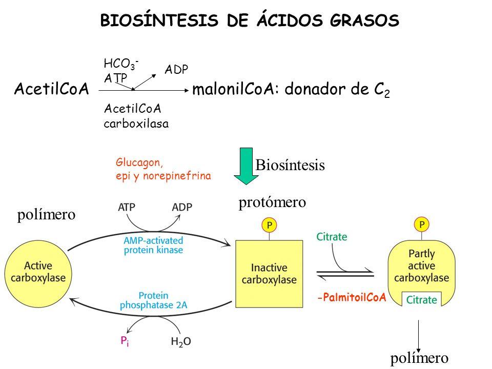 BIOSÍNTESIS DE ÁCIDOS GRASOS AcetilCoA malonilCoA: donador de C 2 AcetilCoA carboxilasa HCO 3 - ATP ADP protómero polímero -PalmitoilCoA Glucagon, epi y norepinefrina Biosíntesis