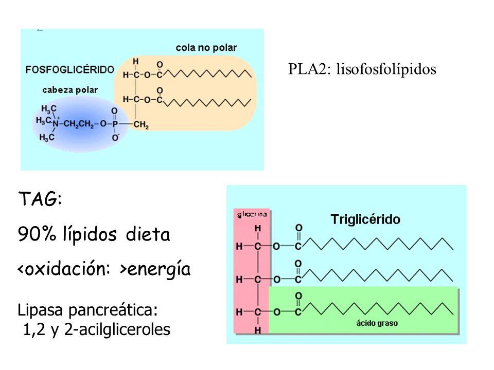 PLA2: lisofosfolípidos TAG: 90% lípidos dieta energía Lipasa pancreática: 1,2 y 2-acilgliceroles