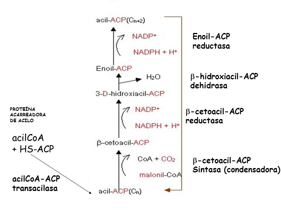 PROTEÍNA ACARREADORA DE ACILO acilCoA + HS-ACP acilCoA-ACP transacilasa -cetoacil-ACP Sintasa (condensadora) -cetoacil-ACP reductasa -hidroxiacil-ACP dehidrasa Enoil-ACP reductasa