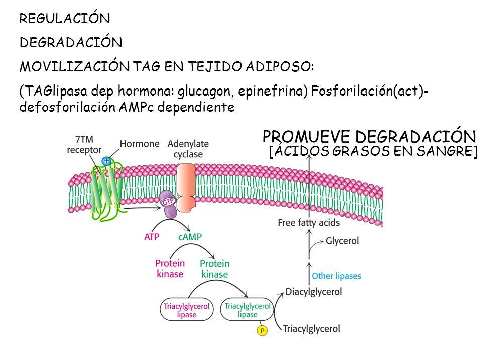 REGULACIÓN DEGRADACIÓN MOVILIZACIÓN TAG EN TEJIDO ADIPOSO: (TAGlipasa dep hormona: glucagon, epinefrina) Fosforilación(act)- defosforilación AMPc dependiente PROMUEVE DEGRADACIÓN [ÁCIDOS GRASOS EN SANGRE]