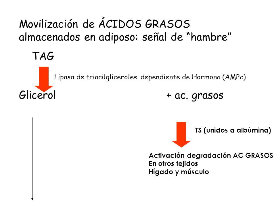 Movilización de ÁCIDOS GRASOS almacenados en adiposo: señal de hambre TAG Lipasa de triacilgliceroles dependiente de Hormona (AMPc) Glicerol + ac.