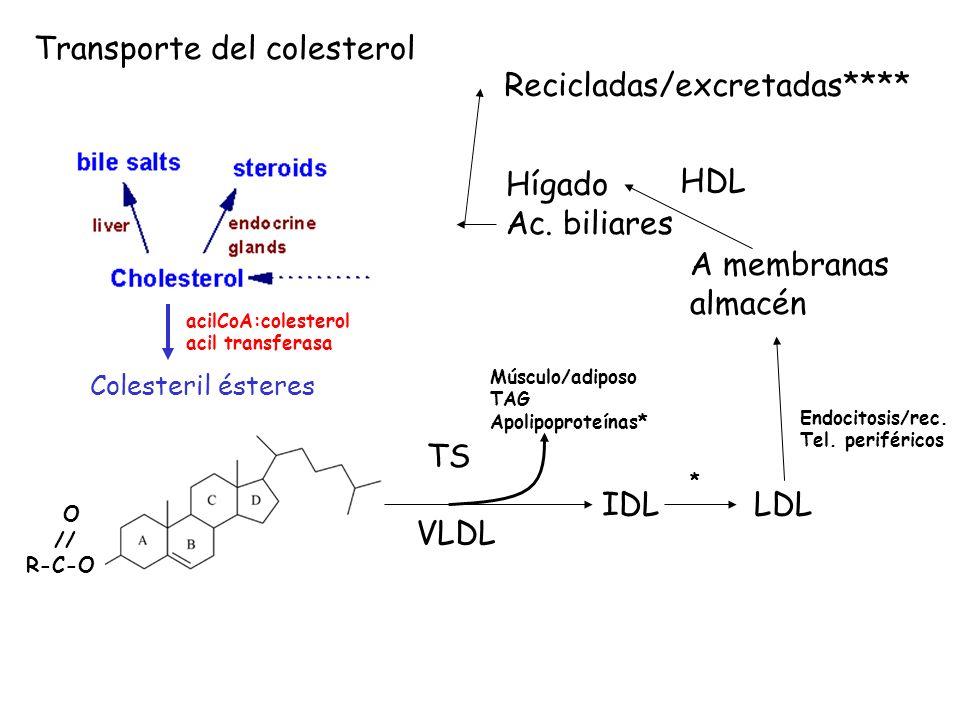 Colesteril ésteres acilCoA:colesterol acil transferasa O // R-C-O TS VLDL Músculo/adiposo TAG Apolipoproteínas* IDLLDL * Endocitosis/rec. Tel. perifér