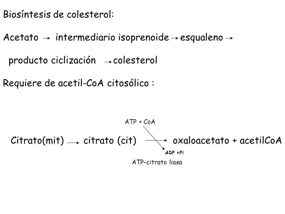 Citrato(mit) citrato (cit) oxaloacetato + acetilCoA ATP + CoA ATP-citrato liasa ADP +Pi Biosíntesis de colesterol: Acetato intermediario isoprenoide e