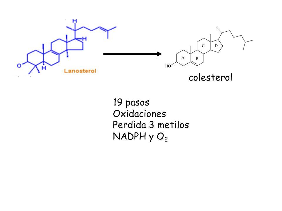 19 pasos Oxidaciones Perdida 3 metilos NADPH y O 2 colesterol