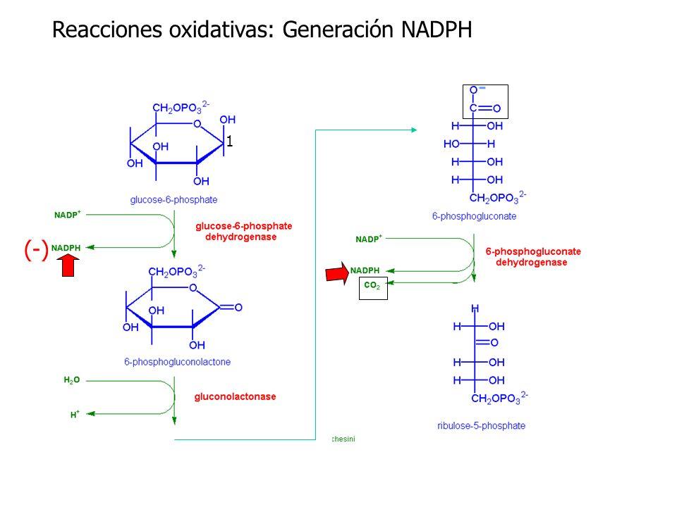 Reacciones oxidativas: Generación NADPH (-) 1 -