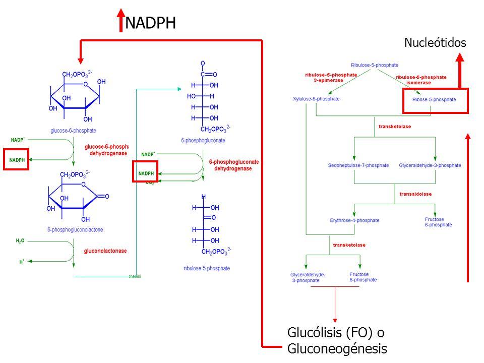 Nucleótidos Glucólisis (FO) o Gluconeogénesis NADPH