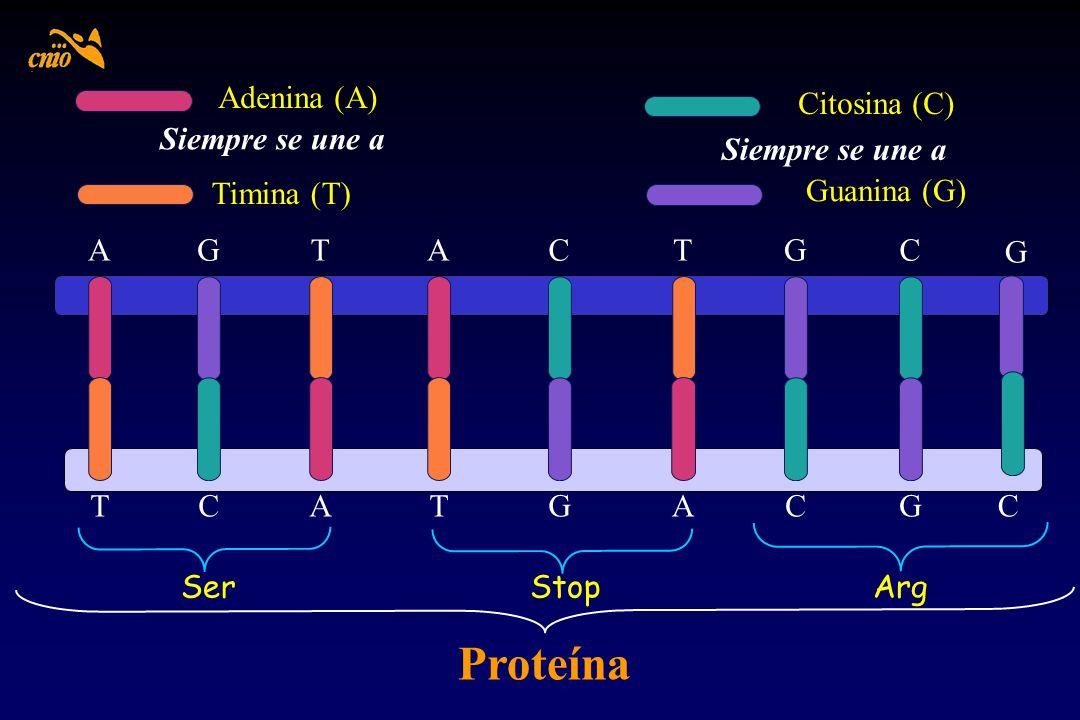 Guanina (G) Citosina (C) Siempre se une a Adenina (A) Siempre se une a Timina (T) AGCTATGC TCGATACG Proteína SerStop C Arg G