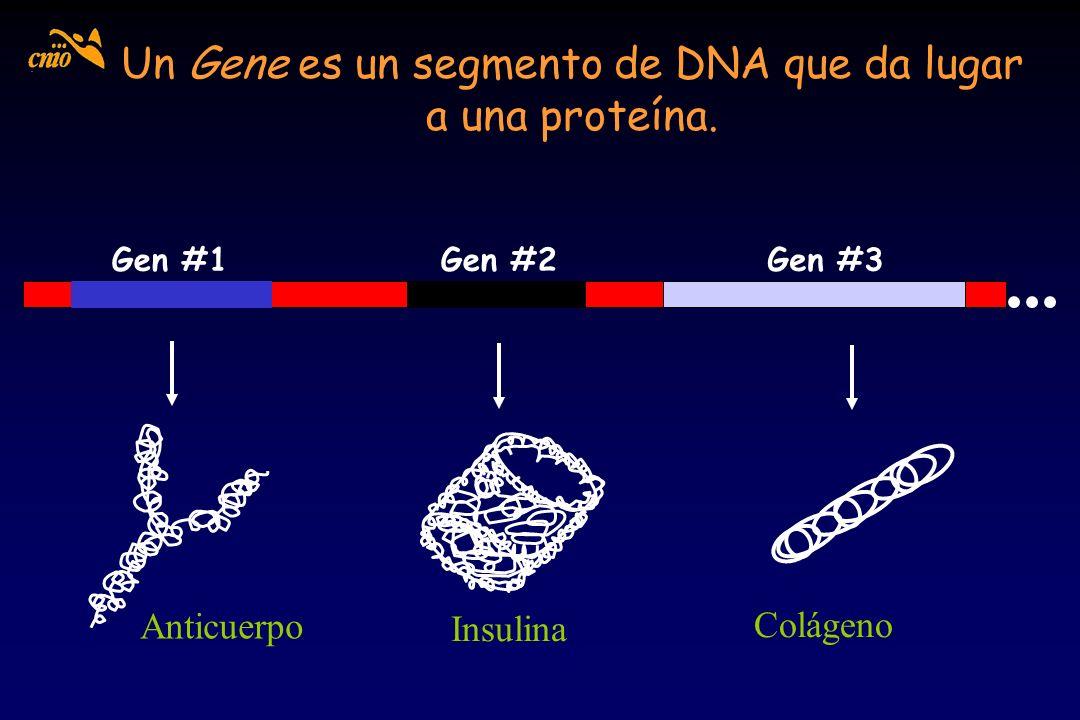 Un Gene es un segmento de DNA que da lugar a una proteína. Gen #1Gen #2Gen #3 Anticuerpo Insulina Colágeno