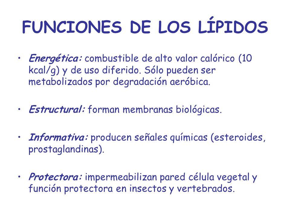 FUNCIONES DE LOS LÍPIDOS Energética: combustible de alto valor calórico (10 kcal/g) y de uso diferido. Sólo pueden ser metabolizados por degradación a