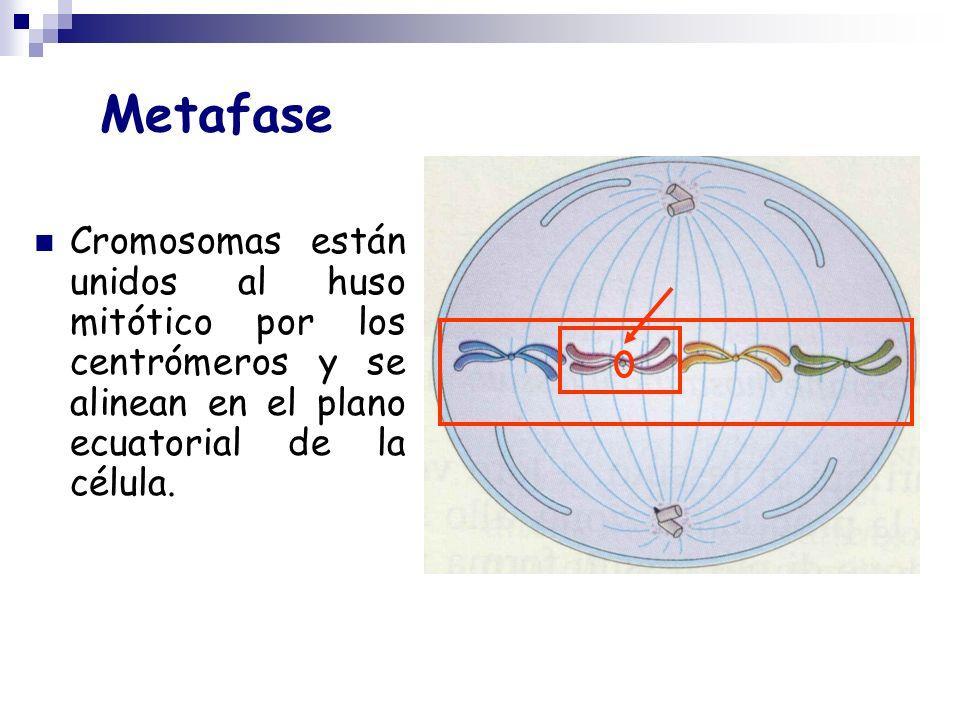 Metafase Cromosomas están unidos al huso mitótico por los centrómeros y se alinean en el plano ecuatorial de la célula.