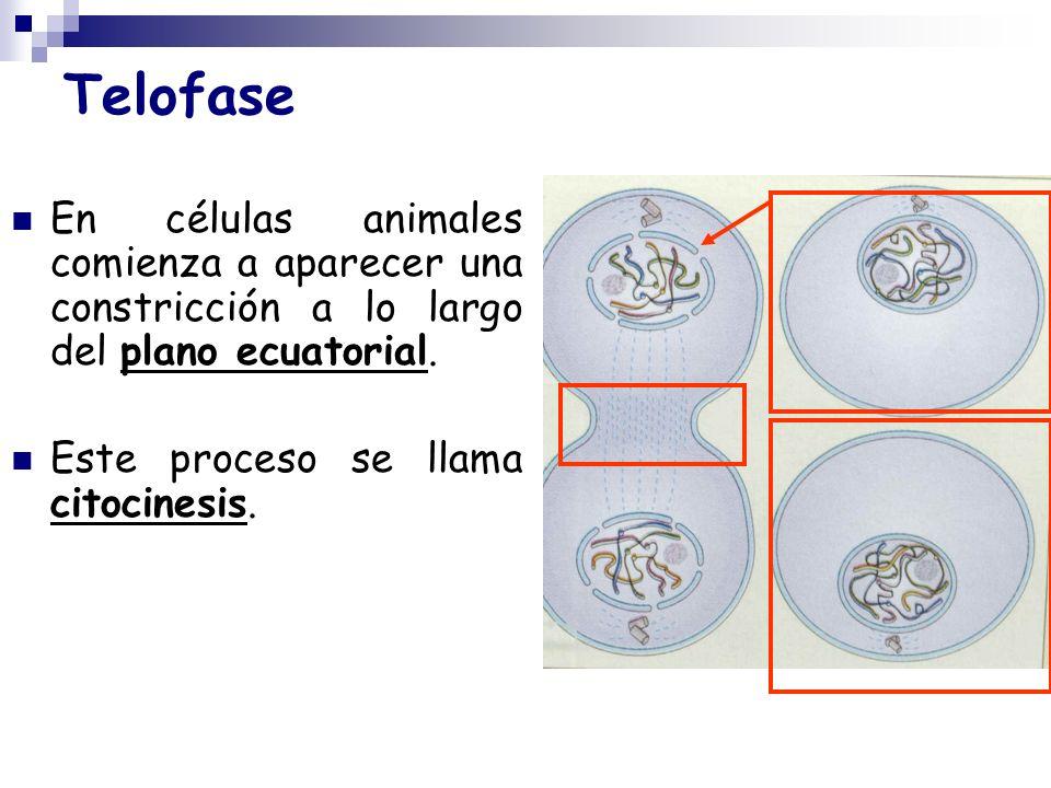 Telofase En células animales comienza a aparecer una constricción a lo largo del plano ecuatorial.