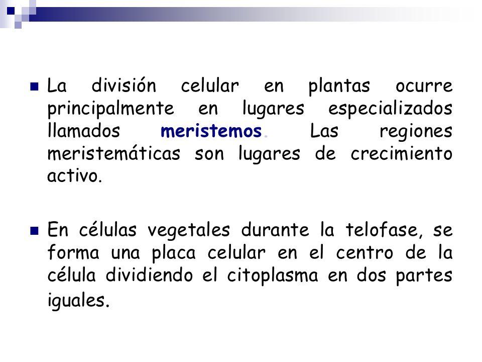 La división celular en plantas ocurre principalmente en lugares especializados llamados meristemos.