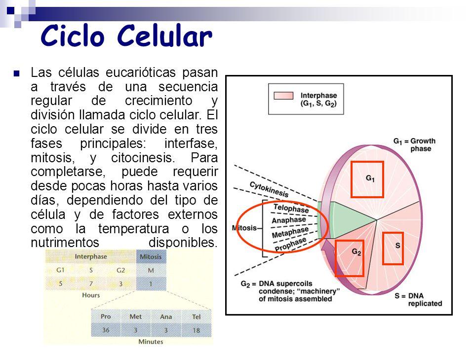 Ciclo Celular Las células eucarióticas pasan a través de una secuencia regular de crecimiento y división llamada ciclo celular.