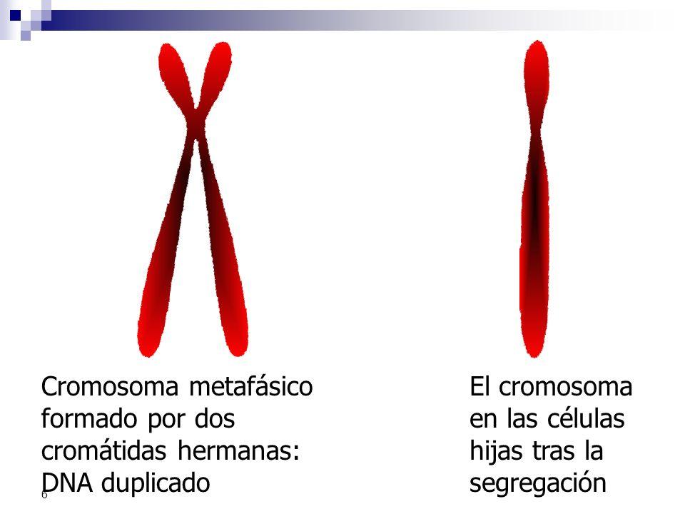6 Cromosoma metafásico formado por dos cromátidas hermanas: DNA duplicado El cromosoma en las células hijas tras la segregación