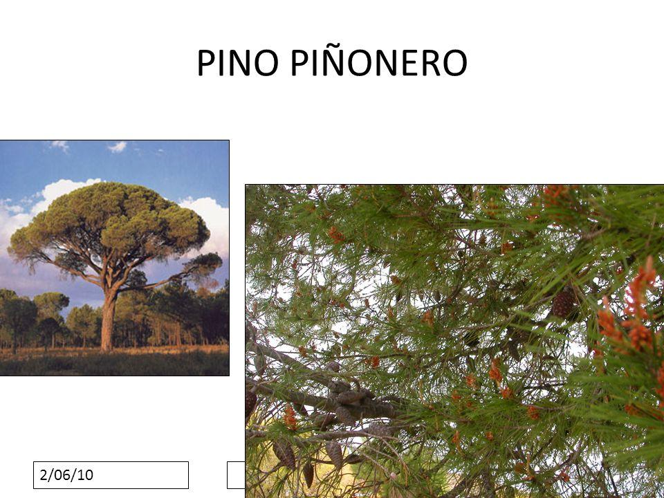 2/06/10 PINO PIÑONERO
