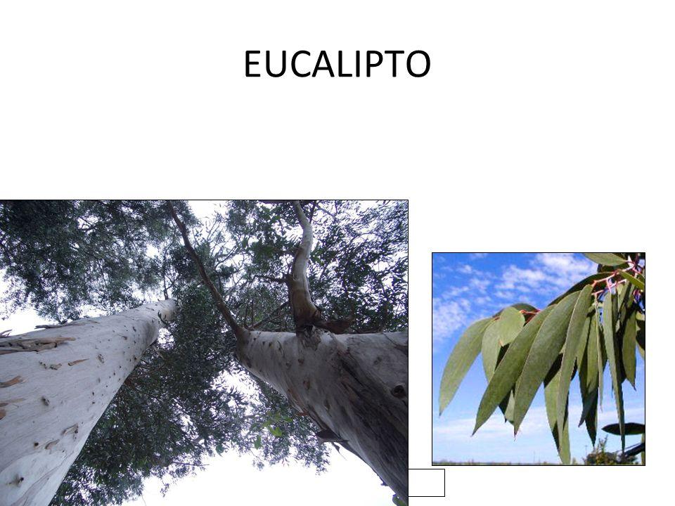 2/06/10 EUCALIPTO