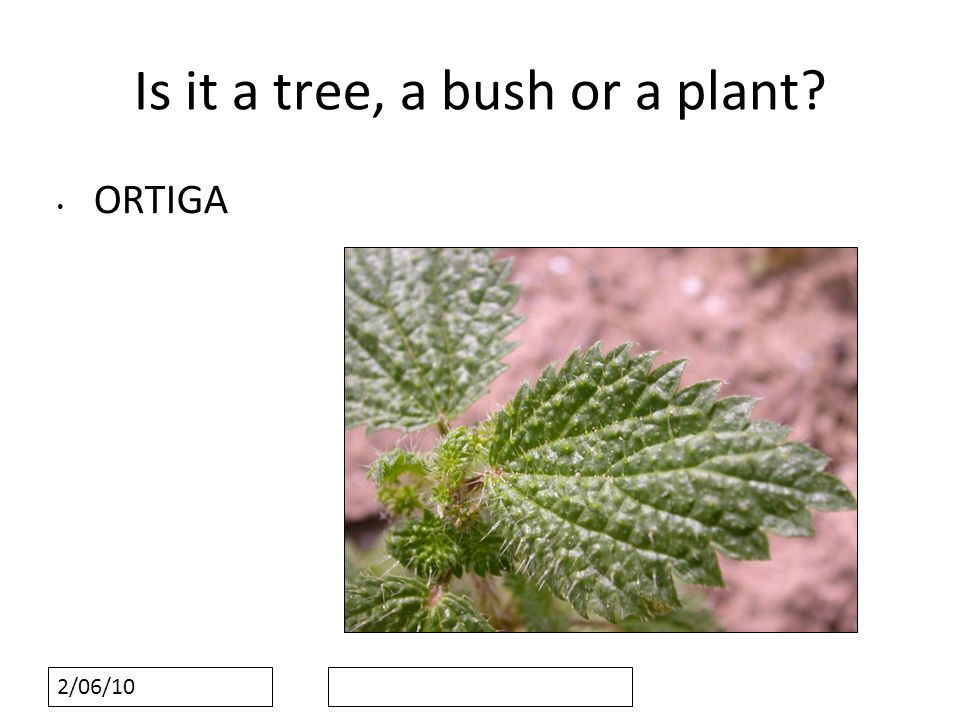 2/06/10 Is it a tree, a bush or a plant ORTIGA