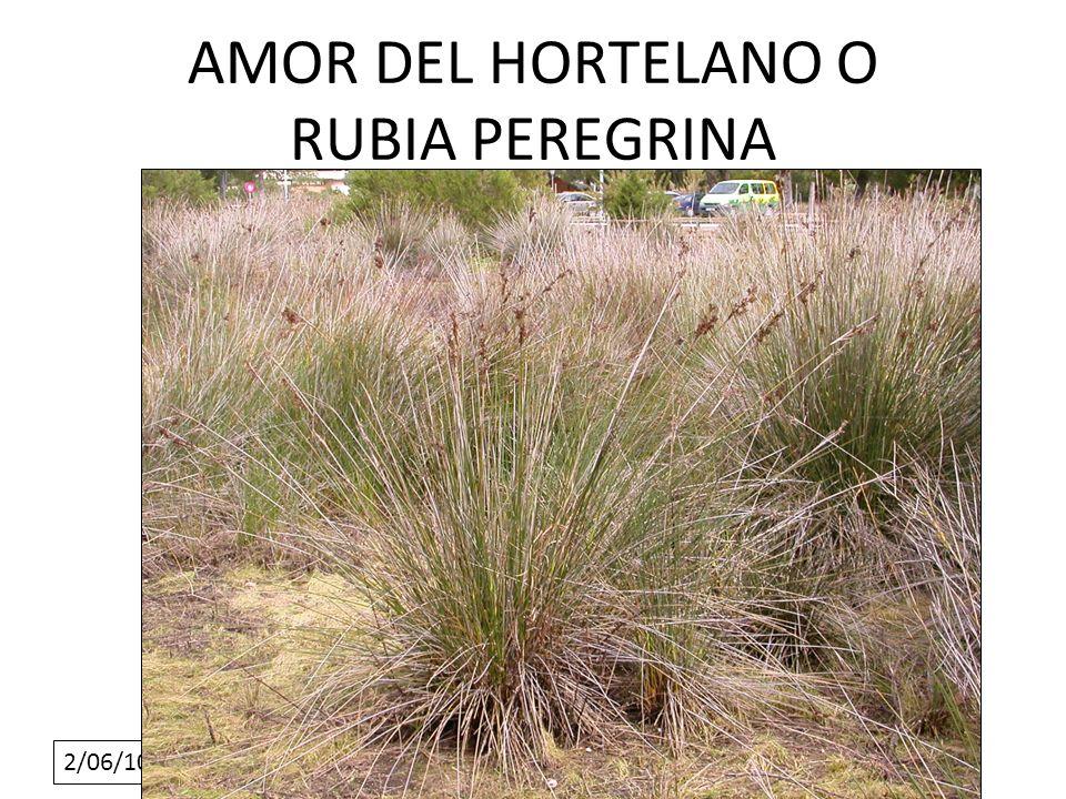 2/06/10 AMOR DEL HORTELANO O RUBIA PEREGRINA
