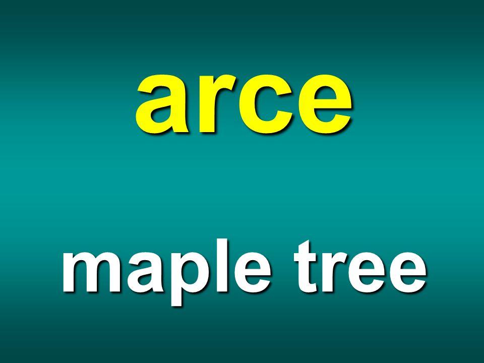 arce maple tree