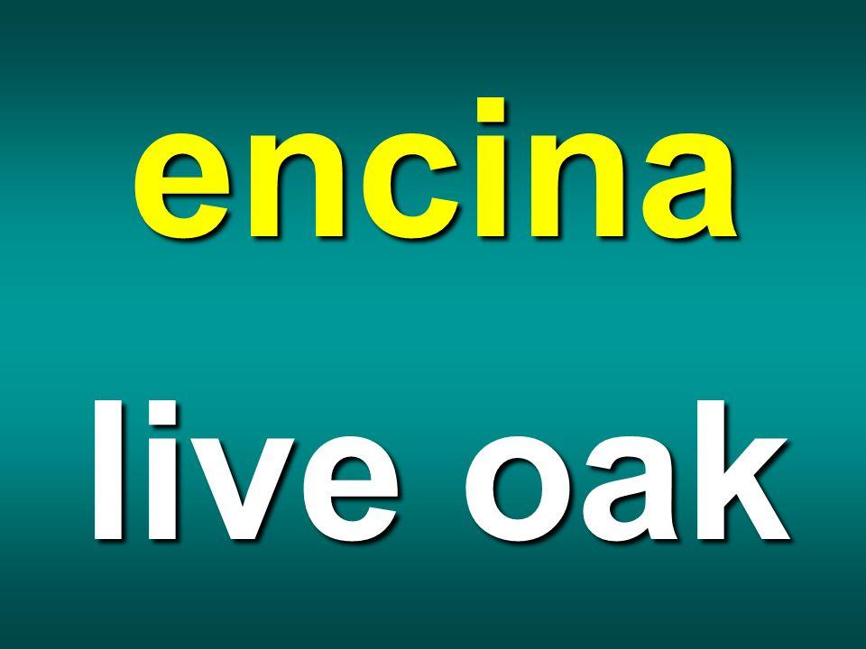 encina live oak