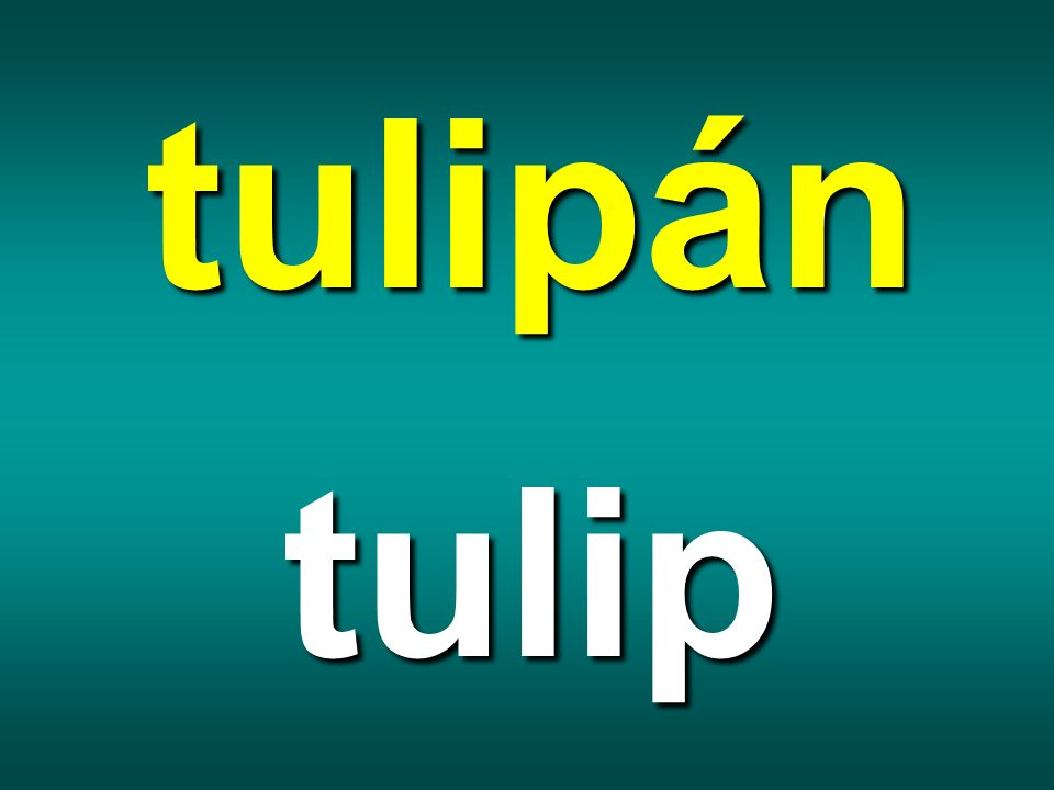 tulipán tulip