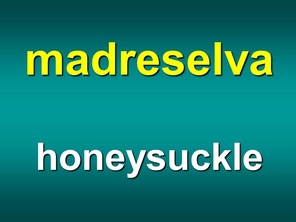 madreselva honeysuckle